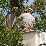 man trimming a tree in bucket truck